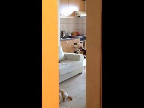 廚房東西一直被偷吃,於是偷拍拍到了這一幕...偉哉!米格魯!