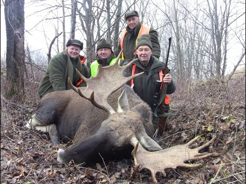 Загонная охота на лося и кабана 2019