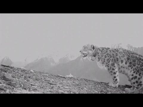 Αφγανιστάν: Η μεγάλη επιστροφή της λεοπάρδαλης του χιονιού