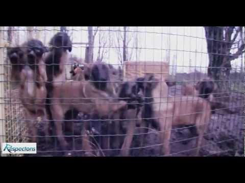 Découverte d'un élevage clandestin de chiens Malinois