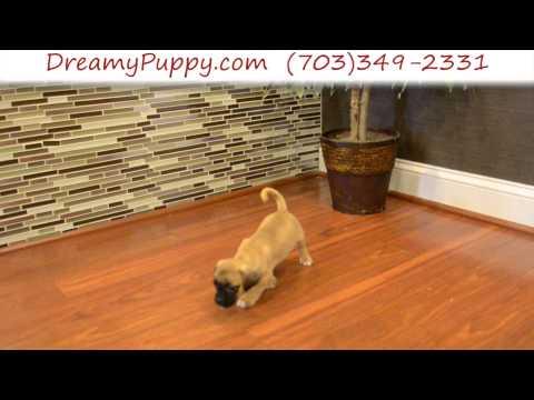 Super Cute Female Puggle Puppy 2