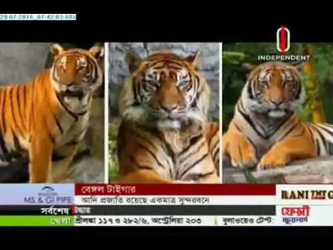 Royal Bengal Tiger species (29-07-2016)