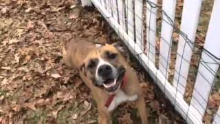 Frank in NJ $50 - local adoption only - Boxer / Mixed (short coat) Dog For Adoption