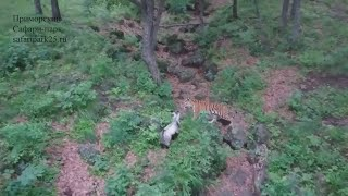 A friendship has been formed between a second tiger and goat at the Primorskiy Safari Park in Russia. Report by Sarah Duffy.