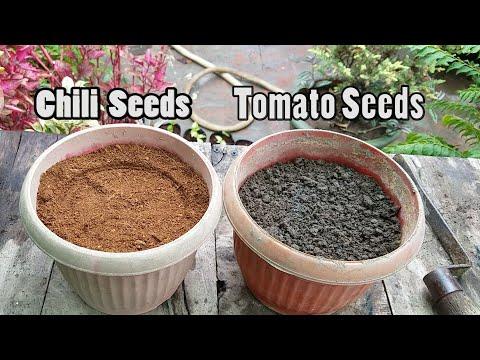 Main 13 September Ko Chili and Tomato Seeds Lagane Wala Hon