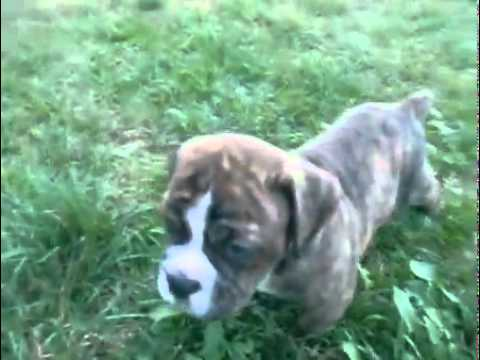 Olde English Bulldogge Male Puppy Brindle & White