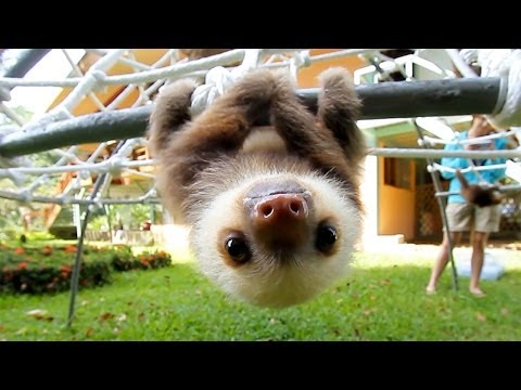 Adorable Rescued Baby Sloths Talk