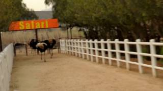 Speed race in ostrich farming in Oudtshoorn