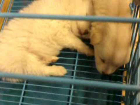 Cute Puppies At Ameerpet BigBazar, Hyderabad