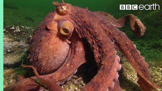 Video Octopus Steals Crab From Fisherman | Super Smart Animals | BBC Earth MP3, 3GP, MP4, WEBM, AVI, FLV April 2019