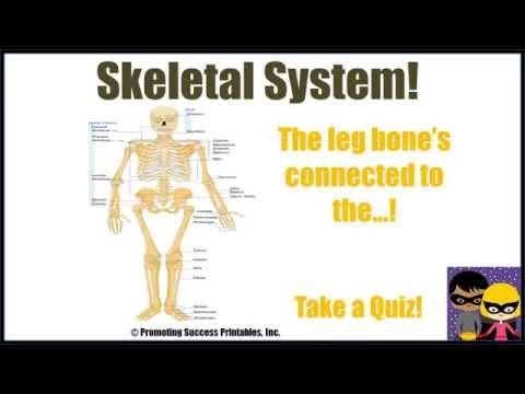 Human skeletal system for kids