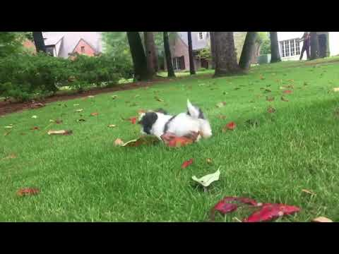 Gracie is a relaxed, intelligent, Imperial Shih Tzu who currently weighs less than 1lb