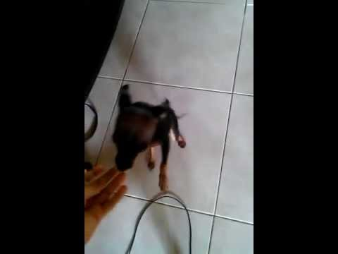 """Trained chihuahua """"sit"""" command"""