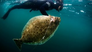 Harbor House Life: Spearfishing HUGE Halibut While Freediving