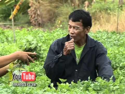 เกษตรร่ำรวย_ผักชี_ลุงมานิตย์