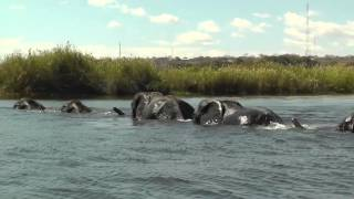 Elephants Swim In A Line Across The Chobe River, Botswana, Africa.Safari footage