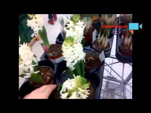 Je ten hyacint bílý nebo červený ???