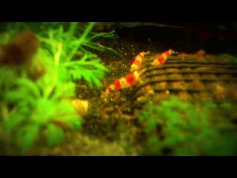 Crystal Red and Cherry Shrimp with Extensive Caring Tips (видео)