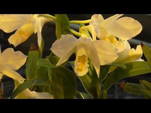 Orchideen Arten: Dendrobium formosum
