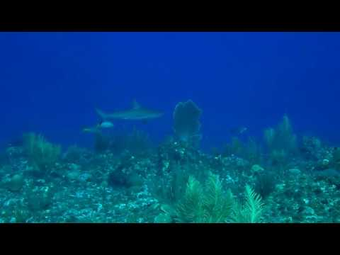 Zwartpuntrifhaai bij Bonaire
