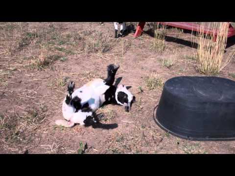 Fainting Goat - YouTube