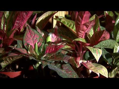how to transplant a chinese evergreen