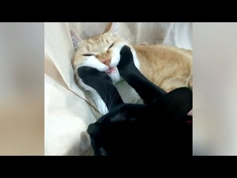 Funny cat videos - 0% CHANCE that you will NOT LAUGH   FUNNIEST CAT VIDEOS
