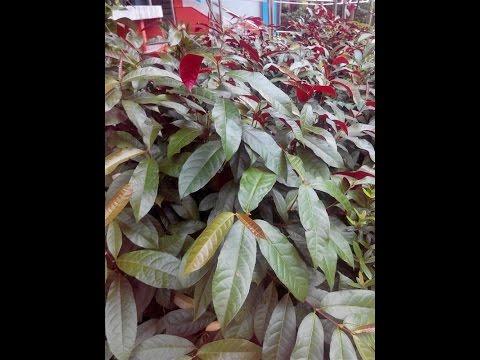 ต้นกระบือเจ็ดตัว ลิ้นกระบือ วรากรสมุนไพร โทร 0821515014, ID line varakhonherbs