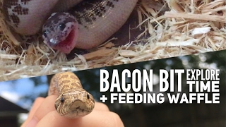 Thanks to everyone for being patient for the next video! I've been so busy lately at work and in my personal life but I couldn't wait to upload a new video for you guys. Today's video is an Explore Time of Bacon Bit the Western hognose snake, and a feeding video of Waffle the Kenyan sand boa. Also welcome to all the new subscribers!!------Merch: http://www.redbubble.com/people/oreotragus/shopInstagram: http://www.instagram.com/jennyfgainesPatreon: https://www.patreon.com/JennyGainesFacebook: fb.me/jennyfgaines------Reptile Care Items:Under Tank Heating Pad -  http://amzn.to/2u83Rm2Thermostat (for use with heating pad) - http://amzn.to/2tEIQfYThermometer - http://amzn.to/2sFnfT6Gecko Food - http://amzn.to/2sGLUqFFeeding Tongs - http://amzn.to/2txB6xOCoco Fiber (substrate) - http://amzn.to/2ty20WlAspen Shavings (substrate) - http://amzn.to/2sF5L9AReptiChips (substrate) - http://amzn.to/2sFnaieOther Reptile Items:Collapsible Snake Hook - http://amzn.to/2u1wMYfThe New Encyclopedia of Snakes (I LOVE this book!) - http://amzn.to/2u7OoCCThe Sandboa Book - http://amzn.to/2uH7sob------Thanks for watching!Music by Kevin MacLeodwww.imcompetech.com