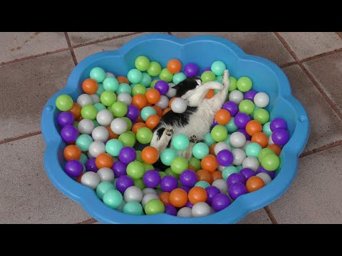 Cat Plays In Ball Pit   4K
