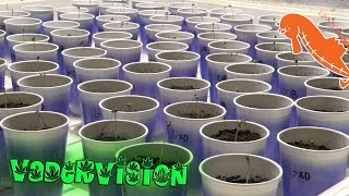 Cannabis Seed Sprouting Techniques! by VaderVision