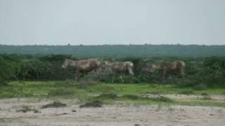 Dasada India  City pictures : Safari in the Rann of Kutch wildlife sanctuary (Dasada - Gujarat - India)