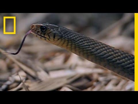 0 Cobra and Rat Snake