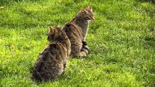 East Grinstead United Kingdom  City pictures : Scottish Wildcats at British Wildlife Centre - East Grinstead, England 1 of 2