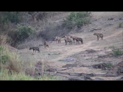 Hyena's Attempt To Steal Lion's Kill | Big On Wild
