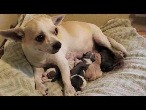 Denver's fourth puppy (Chihuahua Pug Mix Giving Birth)