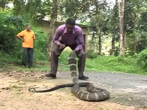 งูจงอาง -