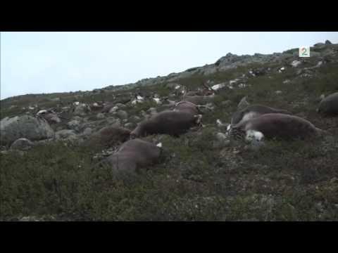 Više od 300 irvasa poginulo u udaru groma u Norveškoj