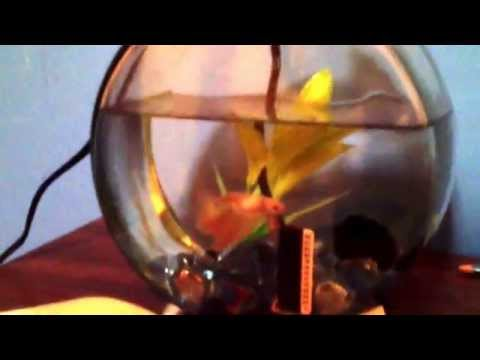 How to convince your parents to let you get a Betta fish!