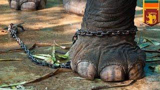 Download Video Gajah mengamuk, membunuh biksu saat upacara adat - Tomonews MP3 3GP MP4
