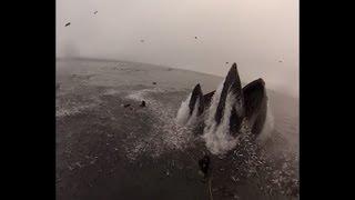 Esperienza indimenticabile per un sub californiano. Mentre riprendeva con una telecamera i fondali dell'oceano un grosso banco di piccoli pesci lo ha investito nel tentativo di scappare da una grossa megattera. Il cetaceo è riemerso ad 1 metro dal sub con le fauci spalancate per cibarsi dei pesci in superficie.