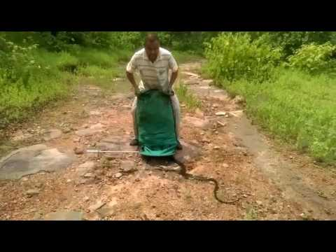 Impresionante video: Un encantador de serpientes libera a 285 reptiles a la vez