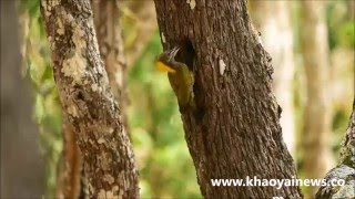 lesser flameback feeding its chick