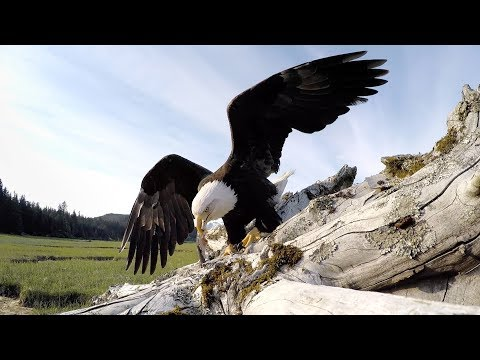 An Intrepid Bald Eagle Takes a Camouflaged GoPro Camera for a High Flying