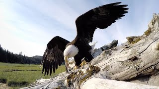 Matt Beedle set out to capture some authentic video of a North American Bald Eagle in his hometown of Juneau, Alaska but ended up with a talon full of trouble when the eagle decided to take his GoPro for a joy ride. For the whole story check out: https://gopro.com/news/eagle-eye--matthew-beedle--an-awards-creator-profileShot 100% on the HERO cameras from ‪http://GoPro.com.Get stoked and subscribe: http://goo.gl/HgVXpQMusic Courtesy of ExtremeMusichttps://www.extrememusic.comFor more from GoPro, follow us:Facebook: https://www.facebook.com/goproTwitter: https://twitter.com/goproInstagram: https://instagram.com/goproTumblr: http://gopro.tumblr.com/Pinterest: http://www.pinterest.com/gopro   Inside Line: https://gopro.com/newsGoPro: https://gopro.com/channel/
