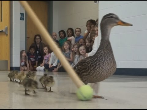 WATCH: Duck Family Parade!