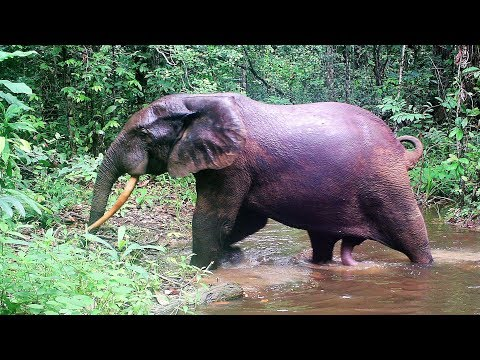 Video Elephants in need of mating, sexual intercourse only every 4 years due to gestation and nursing time download in MP3, 3GP, MP4, WEBM, AVI, FLV January 2017