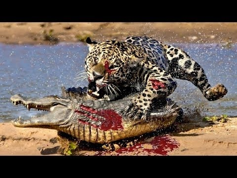Most Amazing Wild Animal Attacks - Lion attack HD