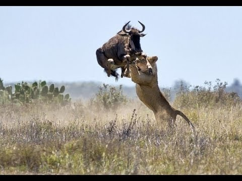 Wildlife  lion vs buffalo real fight Discovery channel  Animal planet