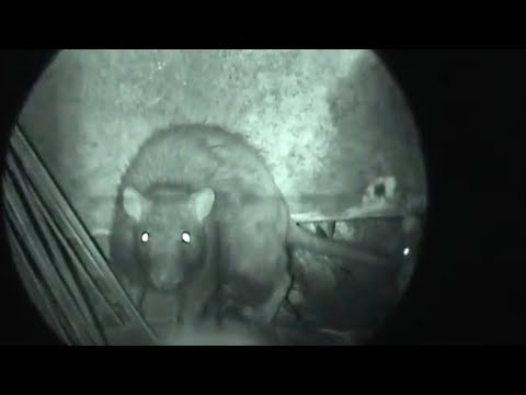 Berburu Tikus - Night Ratting - Marauder Wolverin